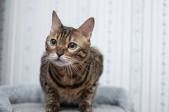 Se för Bengal katt Arkivfoto