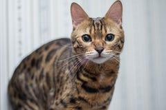 Se för Bengal katt Arkivbild