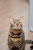 Se för Bengal katt Fotografering för Bildbyråer