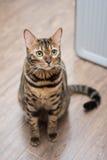 Se för Bengal katt Royaltyfri Fotografi