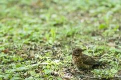 se för blackbirdmat Arkivfoto