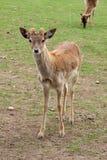 Se för hjortar Royaltyfria Bilder