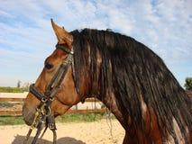 se för kamerahästar Spanska hästar härlig häst Royaltyfri Fotografi