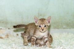 Se för kattunge Arkivbilder