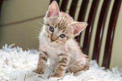 Se för kattunge Royaltyfria Bilder