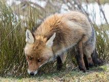 Se för röd räv (Vulpesvulpes) Arkivfoton