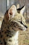 Se för Serval Royaltyfria Bilder