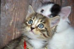 Se för två kattungar Royaltyfri Foto