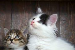 Se för två kattungar Arkivbilder