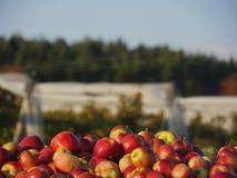 Süße frische Äpfel im Sonnenlicht Stockbild