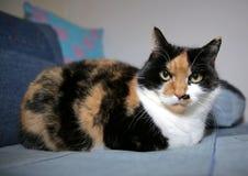 Se gli occhi di questo gatto potessero uccidere fotografie stock