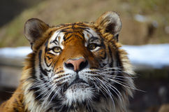 Se i ögonen av tigern - ung vuxen människaBengal tiger manligt fullt f Royaltyfri Foto