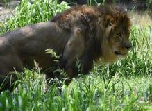 Se in i framsidan av ett ursnyggt lejon med en tjock man Royaltyfri Bild