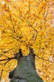 Se in i kronan av bokträdet Arkivbild
