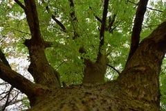 Se in i kronan av ett stort askaträd arkivbild