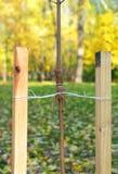 Se il vostro albero è ancora un alberello, utilizzi un palo per aiutarlo per svilupparsi per circa il primo anno di sua vita Immagini Stock Libere da Diritti