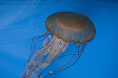 Se Jelly Royalty Free Stock Image