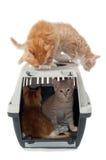 Süße Katzekätzchen im Transportkasten Stockbild