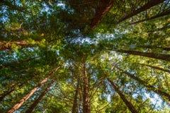 Se längs sequoiastammen Arkivbild