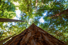 Se längs sequoiastammen Arkivfoto