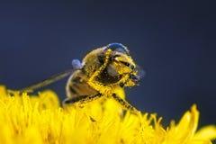Se limpia el polen de la abeja Imagen de archivo