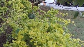 Se naturalna owoc Zdjęcia Stock