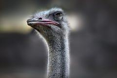 se ostrichen arkivfoto