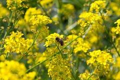 Se poliniza la abeja, las flores amarillas Imagenes de archivo