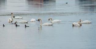 Se préparant aux cygnes de vol sur le lac dans Pomorie, la Bulgarie Images stock