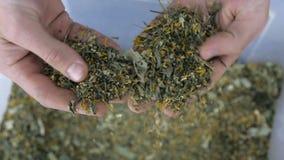 Se producen las hojas de té de la selección de los granjeros almacen de metraje de vídeo