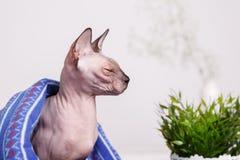 Se reposer canadien de sphinx de chat nu couvert de couverture sur un fond brouillé d'un mur blanc et d'un vase de fleurs images stock