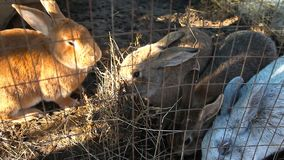Se reposer chez des lapins d'une cage mangent le foin banque de vidéos