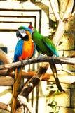 Se reposer coloré de perroquets de couples Photographie stock libre de droits