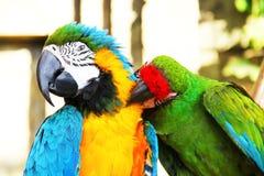 Se reposer coloré de perroquets de couples Images stock