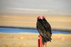 Se reposer de deux vautours de dinde Image libre de droits