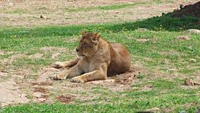 Se reposer de repos de observation félin de lion femelle de lionne décontracté clips vidéos