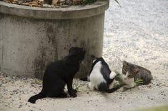 Se reposer et jeu thaïlandais domestiques de chats sur le plancher Photographie stock libre de droits