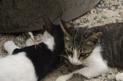 Se reposer et jeu thaïlandais domestiques de chats sur le plancher Photographie stock
