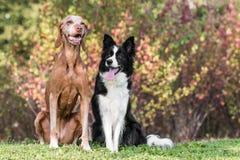 Se reposer obéissant de deux chiens Photos stock