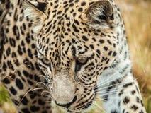 Se tenir le premier rôle en léopard Images libres de droits