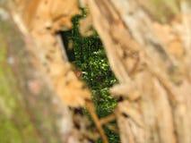 Se till och med de smala slitsarna antingen sida av en stam för ihåligt träd arkivbilder