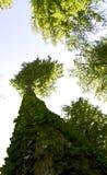 se till trees upp Royaltyfri Foto