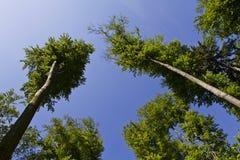 se till trees upp Fotografering för Bildbyråer
