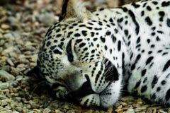 Se trouvant et léopard de neige de sommeil photographie stock libre de droits