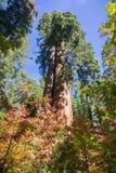 Se upp ett sequoiaträd, färgade nedgången Stillahavs- bergskogskornell i förgrunden Royaltyfri Foto