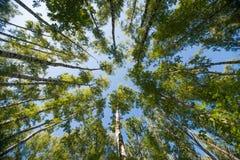 Se upp i bakgrund för abstrakt begrepp för natur för Forest Green trädfilialer Arkivbilder