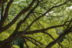 Se upp i bakgrund för abstrakt begrepp för natur för Forest Green trädfilialer Royaltyfria Foton