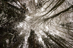 Se upp i den snöig skogen Arkivfoto