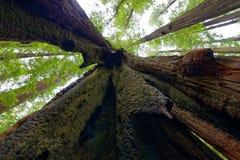 Se upp in i en kluven kust- redwoodträdträdstam royaltyfria foton