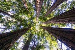 Se upp i en redwoodträdskog, Kalifornien Royaltyfri Foto